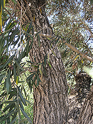 Common Olive (Olea europaea) at Alsip Home and Nursery