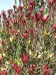 Safari Sunset Conebush (Leucadendron 'Safari Sunset') at Alsip Home and Nursery