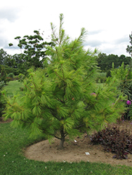 Louie Eastern White Pine (Pinus strobus 'Louie') at Alsip Home and Nursery