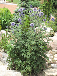Veitch's Blue Globe Thistle (Echinops ritro 'Veitch's Blue') at Alsip Home and Nursery