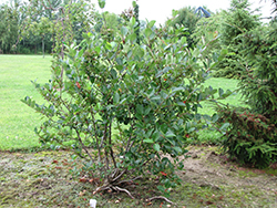 Viking Chokeberry (Aronia x prunifolia 'Viking') at Alsip Home and Nursery
