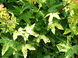 Postelense Hedge Maple (Acer campestre 'Postelense') at Alsip Home and Nursery