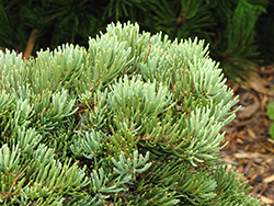 Masonic Broom White Fir (Abies concolor 'Masonic Broom') at Alsip Home and Nursery