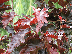 Rohan Purple Beech (Fagus sylvatica 'Rohanii') at Alsip Home and Nursery