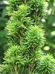 Golden Irish Yew (Taxus baccata 'Fastigiata Aurea') at Alsip Home and Nursery