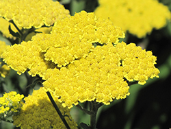 Moonshine Yarrow (Achillea 'Moonshine') at Alsip Home and Nursery