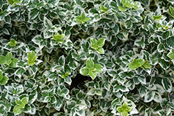 White Album® Wintercreeper (Euonymus fortunei 'Alban') at Alsip Home and Nursery