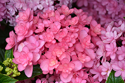 Paraplu® Hydrangea (Hydrangea macrophylla 'SMHMP1') at Alsip Home and Nursery
