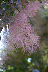 Royal Purple Smokebush (Cotinus coggygria 'Royal Purple') at Alsip Home and Nursery