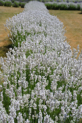 Ellagance Ice Lavender (Lavandula angustifolia 'Ellagance Ice') at Alsip Home and Nursery