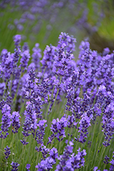 Hidcote Lavender (Lavandula angustifolia 'Hidcote') at Alsip Home and Nursery