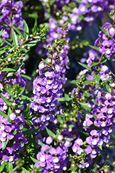 Sungelonia® Blue Angelonia (Angelonia angustifolia 'Sungelonia Blue') at Alsip Home and Nursery