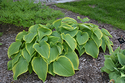 Victory Hosta (Hosta 'Victory') at Alsip Home and Nursery