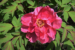 Houki Tree Peony (Paeonia suffruticosa 'Houki') at Alsip Home and Nursery