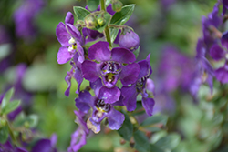 Angelface® Blue Angelonia (Angelonia angustifolia 'Angelface Blue') at Alsip Home and Nursery