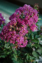 Purple Magic Crapemyrtle (Lagerstroemia 'Purple Magic') at Alsip Home and Nursery
