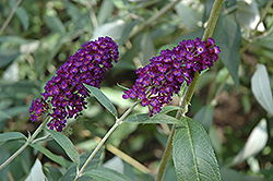 Purple Profusion Butterfly Bush (Buddleia davidii 'Purple Profusion') at Alsip Home and Nursery
