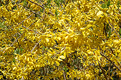 Sunrise Forsythia (Forsythia 'Sunrise') at Alsip Home and Nursery