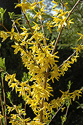 Meadowlark Forsythia (Forsythia 'Meadowlark') at Alsip Home and Nursery