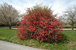 Texas Scarlet Flowering Quince (Chaenomeles speciosa 'Texas Scarlet') at Alsip Home and Nursery