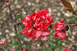 Double Take Pink™ Flowering Quince (Chaenomeles speciosa 'Double Take Pink Storm') at Alsip Home and Nursery