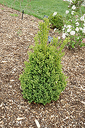 Green Mountain Boxwood (Buxus 'Green Mountain') at Alsip Home and Nursery