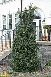 Dee Runk Boxwood (Buxus sempervirens 'Dee Runk') at Alsip Home and Nursery