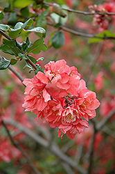 Bonfire Flowering Quince (Chaenomeles speciosa 'Bonfire') at Alsip Home and Nursery