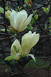 Yellow Lantern Magnolia (Magnolia 'Yellow Lantern') at Alsip Home and Nursery