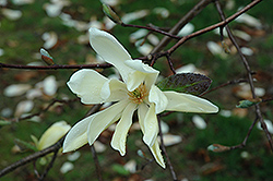 Gold Star Magnolia (Magnolia 'Gold Star') at Alsip Home and Nursery