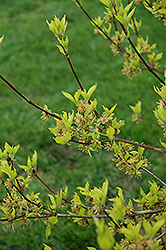 Golden Cornelian Cherry Dogwood (Cornus mas 'Aurea') at Alsip Home and Nursery