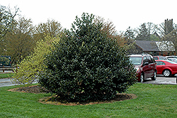 Robin™ Holly (Ilex 'Conin') at Alsip Home and Nursery