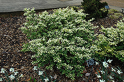 Drops Of Gold Japanese Holly (Ilex crenata 'Drops Of Gold') at Alsip Home and Nursery