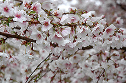 Hally Jolivette Flowering Cherry (Prunus 'Hally Jolivette') at Alsip Home and Nursery