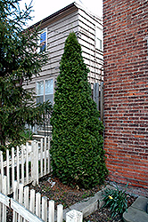 Dark Green Arborvitae (Thuja occidentalis 'Nigra') at Alsip Home and Nursery
