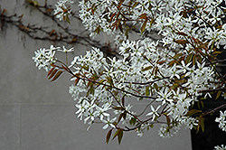 Spring Glory Serviceberry (Amelanchier canadensis 'Spring Glory') at Alsip Home and Nursery