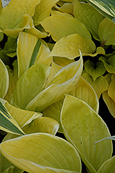 St. Elmo's Fire Hosta (Hosta 'St. Elmo's Fire') at Alsip Home and Nursery