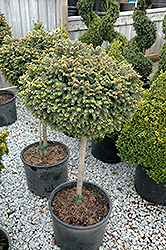 Little Gem Spruce (tree form) (Picea abies 'Little Gem (tree form)') at Alsip Home and Nursery
