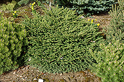 Sharpleaf Dwarf Norway Spruce (Picea abies 'Mucronata') at Alsip Home and Nursery