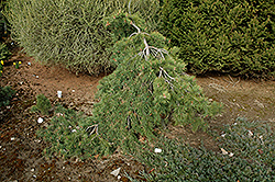 Mitch's Weeping Scotch Pine (Pinus sylvestris 'Mitch's Weeping') at Alsip Home and Nursery