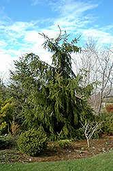 Calvary Upright Norway Spruce (Picea abies 'Calvary Upright') at Alsip Home and Nursery