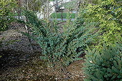 Meyer Juniper (Juniperus squamata 'Meyeri') at Alsip Home and Nursery