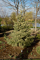 Straw Colorado Spruce (Picea pungens 'Straw') at Alsip Home and Nursery