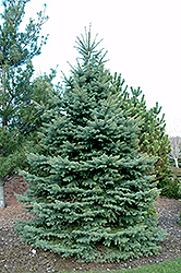Baby Blue Eyes Spruce (Picea pungens 'Baby Blue Eyes') at Alsip Home and Nursery