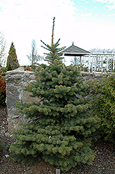Colonial Gold Colorado Spruce (Picea pungens 'Colonial Gold') at Alsip Home and Nursery