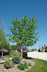 Silver Cloud Silver Maple (Acer saccharinum 'Silver Cloud') at Alsip Home and Nursery