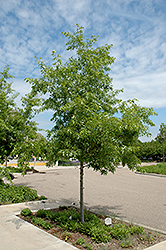 Majestic Skies™ Northern Pin Oak (Quercus ellipsoidalis 'Bailskies') at Alsip Home and Nursery