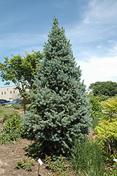 Upright Colorado Spruce (Picea pungens 'Fastigiata') at Alsip Home and Nursery