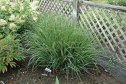 Indian Warrior Bluestem (Andropogon gerardii 'Indian Warrior') at Alsip Home and Nursery