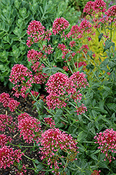 Red Valerian (Centranthus ruber 'Coccineus') at Alsip Home and Nursery